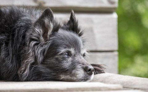 守护狗狗到老,提早帮老年狗养老做准备