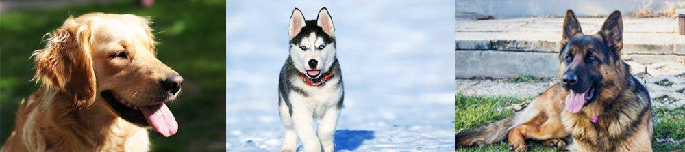 许多大型品种犬都深受髋关节问题困扰。