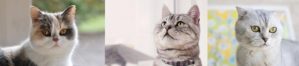 外貌可爱的品种猫,如折耳猫、英短、美短……等,也是关节疾病的好发族群。