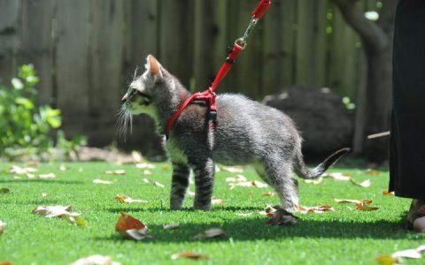 四步骤让猫咪适应外出散步的习惯