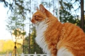 真的是十只橘猫九只胖?橘猫会长胖这一说法有根据么?