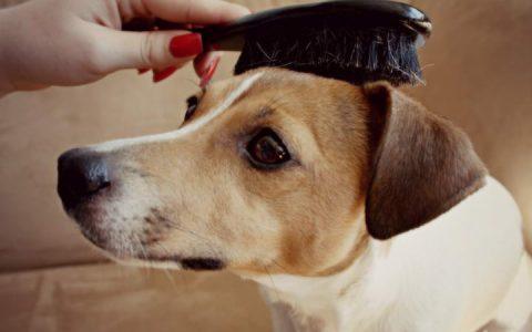 如何正确的给狗狗梳理毛发