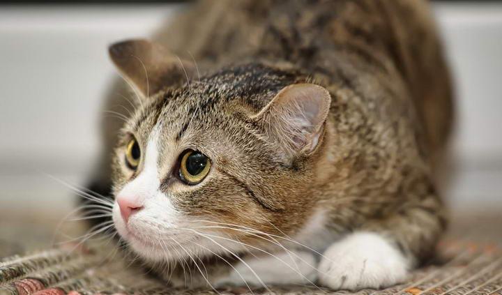 猫咪感到不安的时候会有哪些举动?