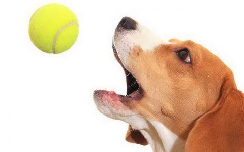 【跟狗狗玩游戏】你丢我捡的球类游戏注意事项