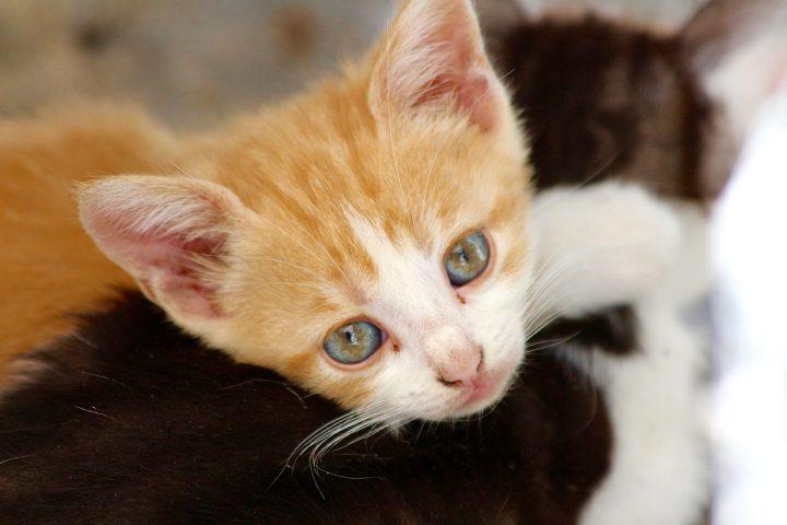 猫传染性腹膜炎的发病原因、症状和治疗方法