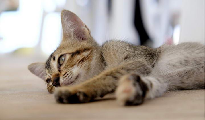 猫白血病病毒如何预防和治疗