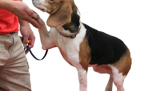 【狗狗训练教程】让你的狗狗学会握手换手动作