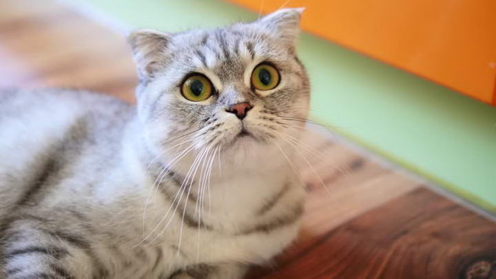 折耳猫:骨骼病态痛苦的一生