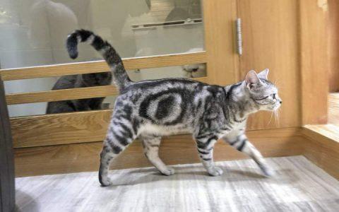 【猫尾巴动作解读】猫咪尾巴快速摆动、竖直上举都代表了啥意思?