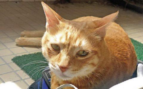 【猫肢体动作解读】猫耳朵和胡须动作代表什么意思