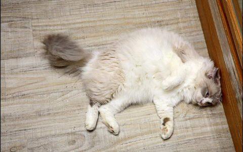【猫肢体动作解读】猫咪露肚子打滚、四处磨蹭代表什么意思