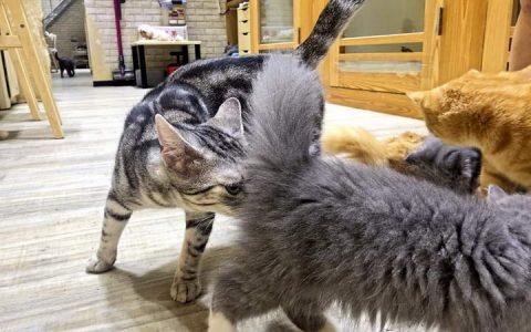 【猫肢体动作解读】猫咪屁股翘高对人、踩奶的意思