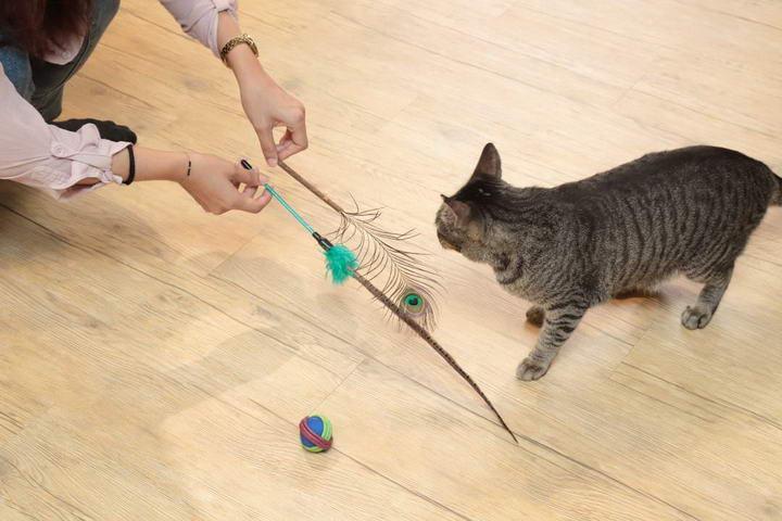 好动猫按摩前可先陪玩游戏,让它释放体力。