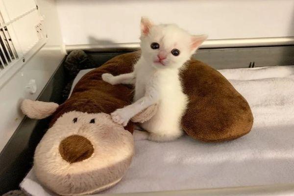 耳聋小白猫被同样丧失听力的猫哥哥收编保护
