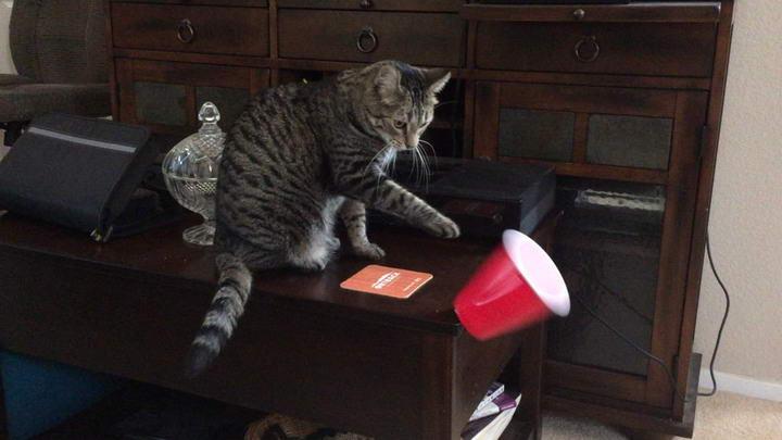 猫咪为什么老是把东西从桌子上推下去?