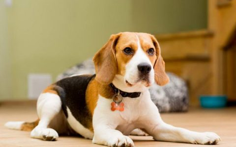 比格犬智商世界排名多少位?比格猎犬聪明吗?