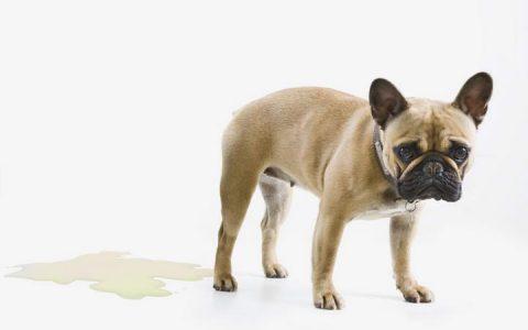 狗狗在家乱便溺行为,宠物狗随地大小便