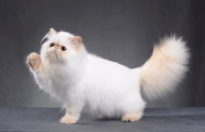 纯种波斯猫多少钱一只,波斯猫的价格是多少