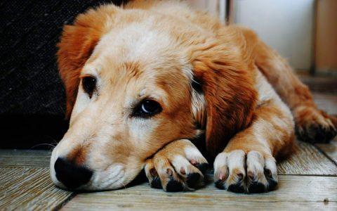 为什么狗狗见到其他狗狗就很胆小的夹尾巴逃跑