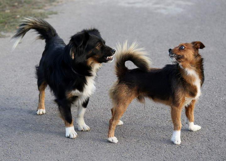 为什么狗狗有骑乘行为,并不一定就是想交配