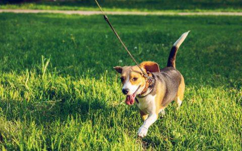 牵狗绳会不当地改变狗狗身体语言!