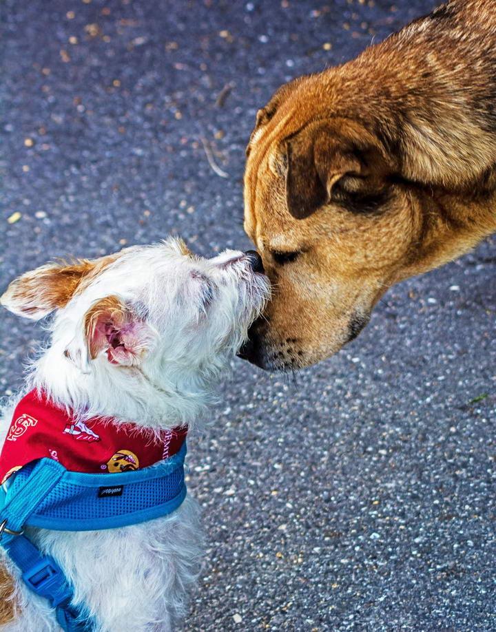 【狗狗训练】当幼犬遇到成犬该如何互动