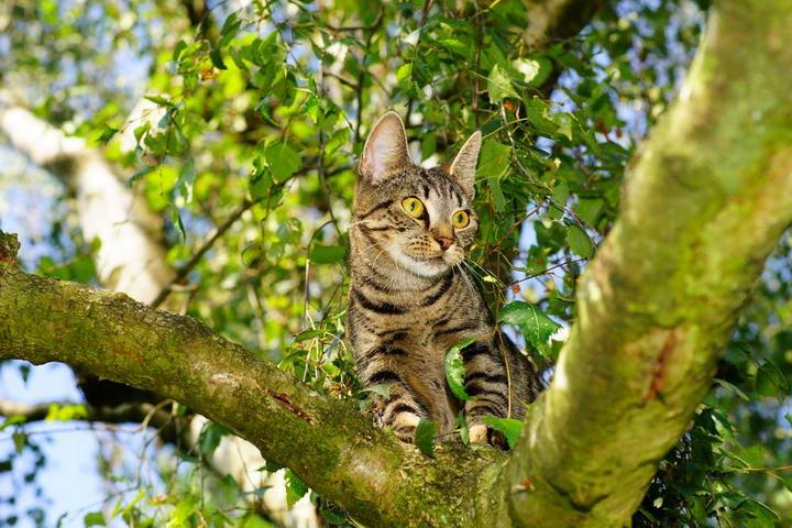 为什么善于爬树的猫咪也会被困在树上/爬架上