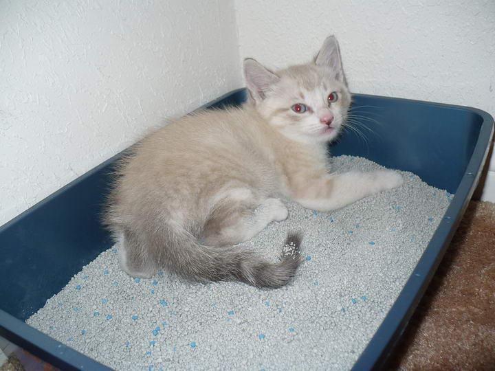 开始训练幼猫使用猫砂盆