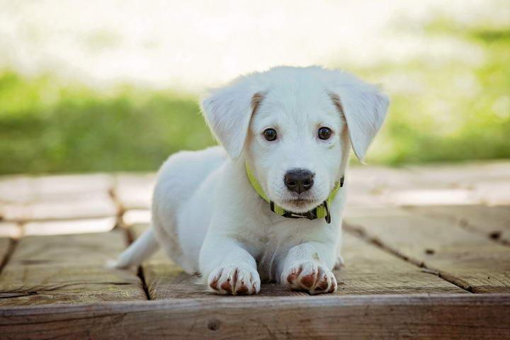 训练幼犬的五个诀窍,如何训练小狗