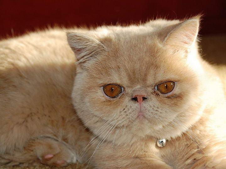 宠物猫眼睑异常:猫咪眼睑内翻