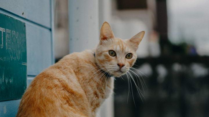 猫咪排尿行为异常可能是因为猫泌尿疾病