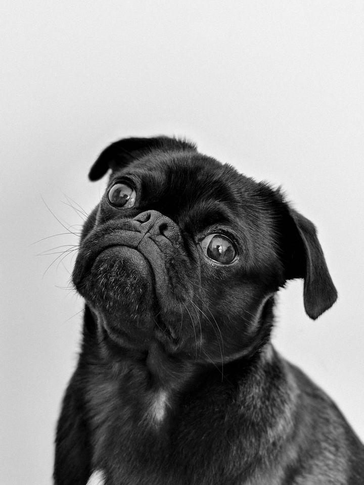 短鼻犬有哪些健康问题?