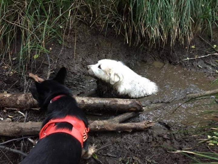 感动:一只救援犬拯救了一只被困在泥潭中的狗狗