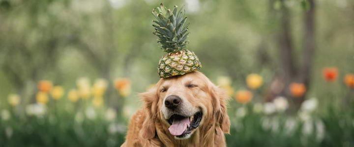 狗狗可以吃菠萝么?宠物犬吃菠萝有哪些好处和坏处
