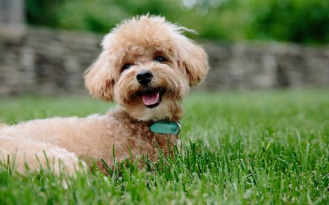 贵宾犬常见疾病介绍