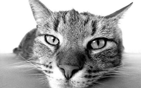 关于猫艾滋病的6个问题