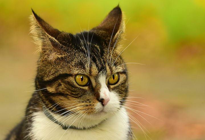 让狗狗和猫咪耳朵保持健康无异味的技巧
