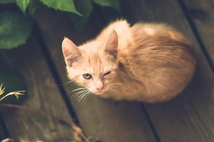 什么是猫瘟?常见猫咪传染病介绍