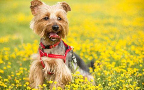 百合花对狗有毒吗?狗狗误食百合怎么办?