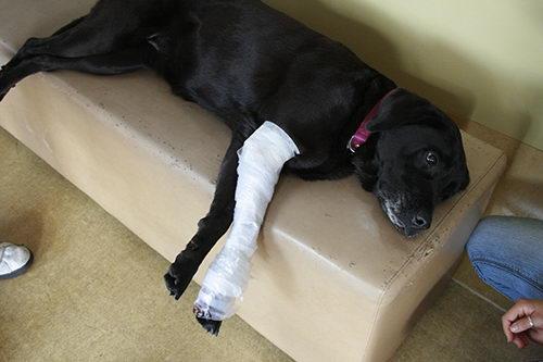 野外游玩时候狗狗发生骨折或者关节扭伤意外的包扎处理方法