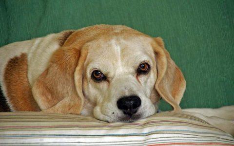 为什么狗狗会有泪痕,该如何去掉?