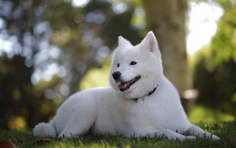 萨摩耶狗狗不吃东西怎么办?