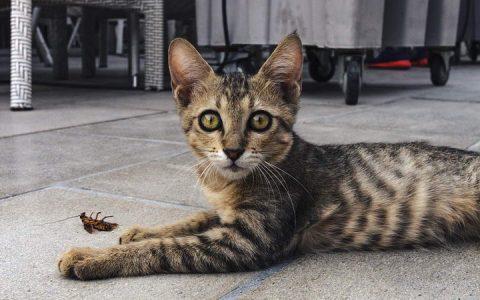 感动不敢动:猫咪送给我一只巨大的蟑螂作为礼物