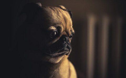 狗狗憋尿会对其身体和心理造成影响