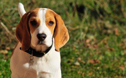 比格犬的个性:超亲人服从性高
