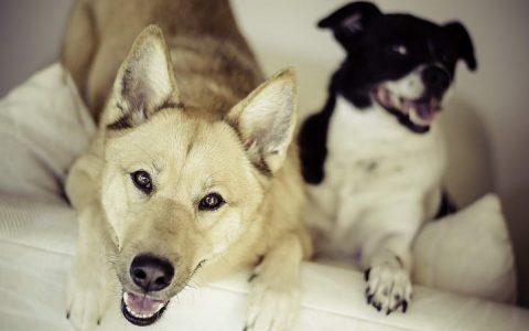 大型犬小型犬哪种狗狗更长寿?基本上是小型犬