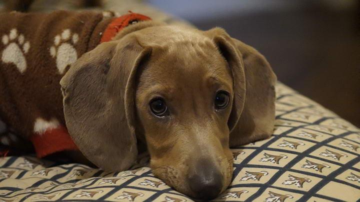 腊肠犬常见疾病介绍