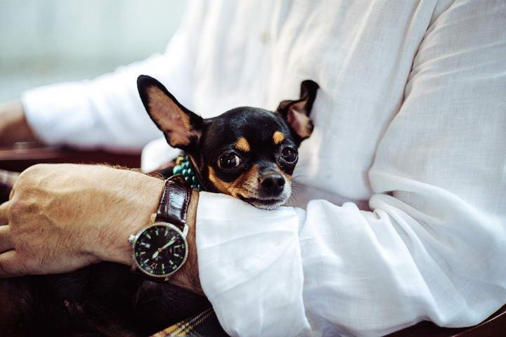 观赏犬有哪些个性?