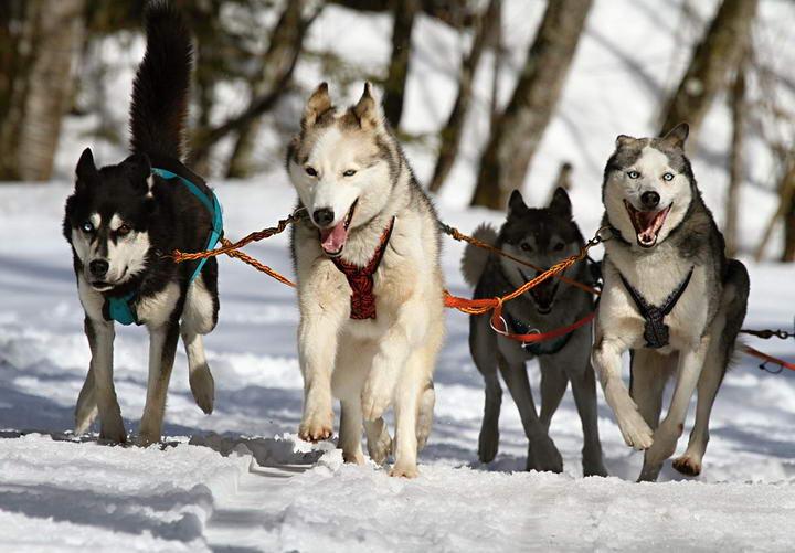 工作犬有哪些个性和特质?