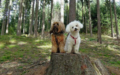 非运动犬有哪些个性和特质?